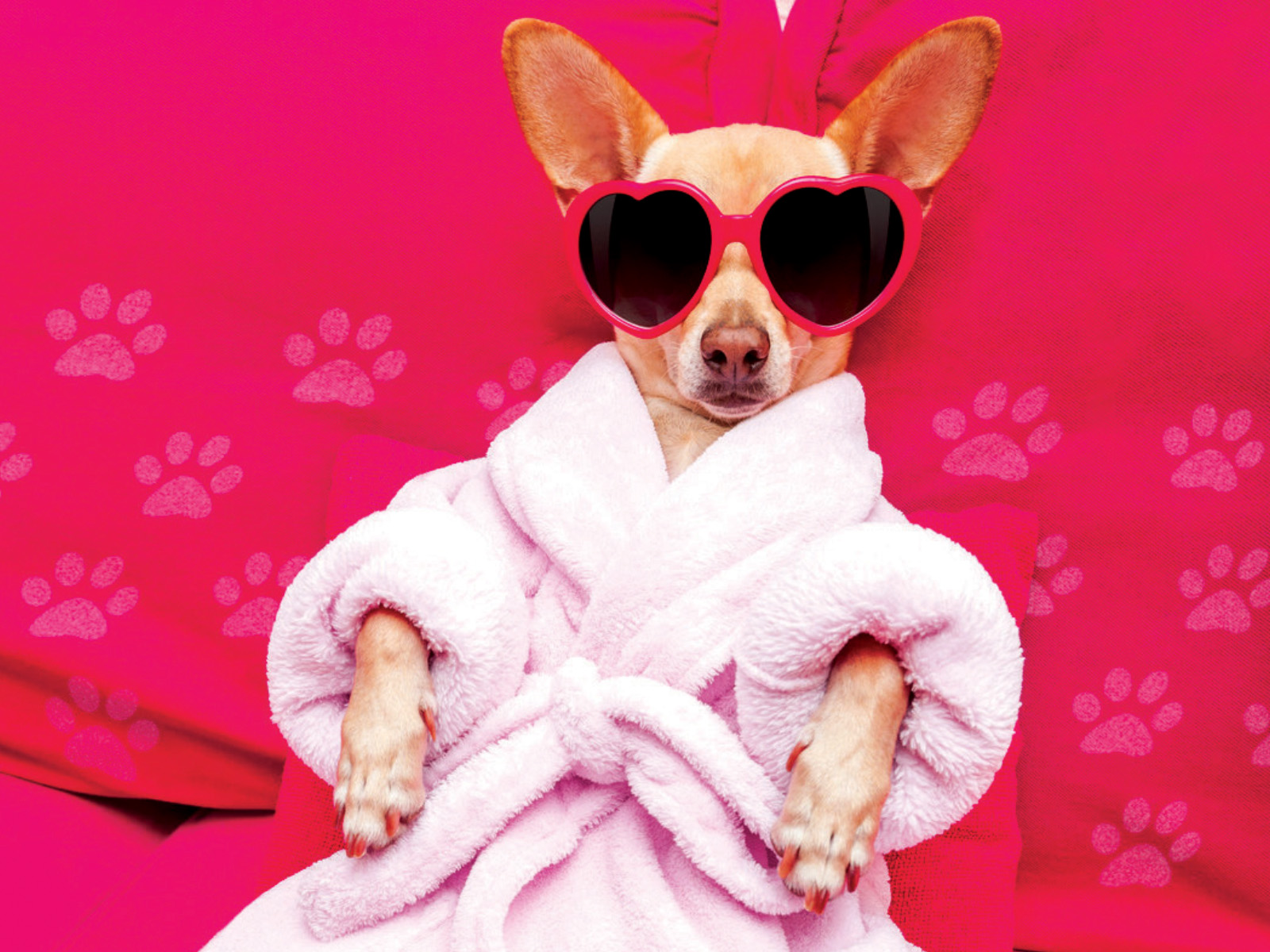 Small dog with pink bathrobe and pink heart-shaped sunglasses